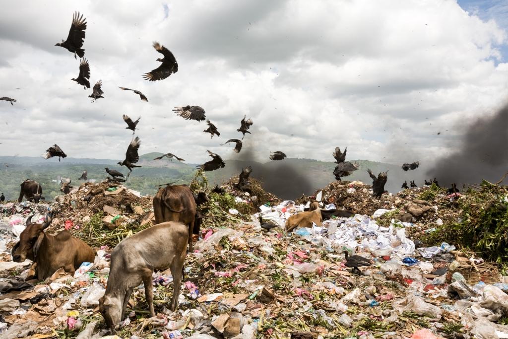 Turkey vultures and cows at La Chureca dump.